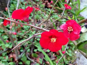 庭のカンボケ(赤)アップ