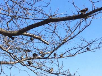 桜の木にとまるムクドリの群