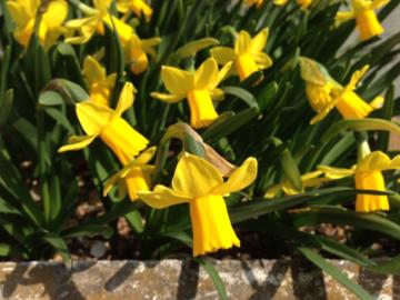 咲きそろった黄水仙