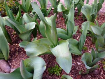 伸びたチューリップの葉