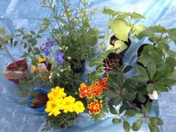 トマトとキュウリと花の苗いろいろ