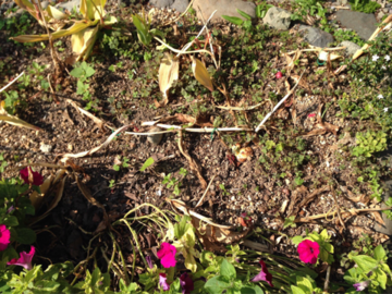 チューリップの花壇の残骸