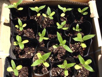 種を蒔いて24日目のミニヒマワリA