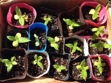 種を蒔いて23日目のミニヒマワリB