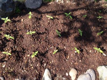 花壇に植え付けたミニヒマワリの苗A