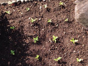 花壇に植え付けたミニヒマワリの苗B