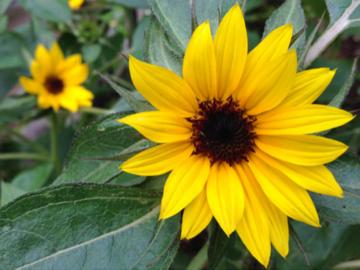 ミニヒマワリの花 黒い種の方