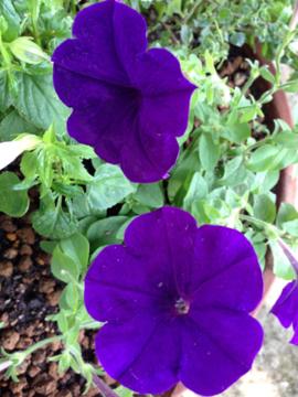 ペチュニア 紫