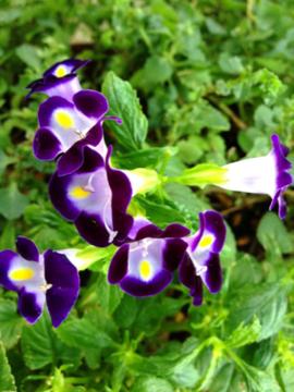 トレニア 紫&薄紫