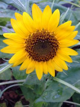 2回目のミニヒマワリ 開花