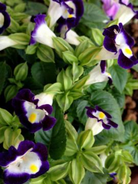 トレニア 紫&白