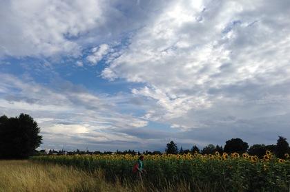 ひまわり畑と夏の空