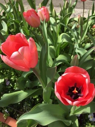 チューリップ花壇2018咲いたピンク