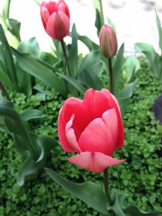 ついに咲いたチューリップの花