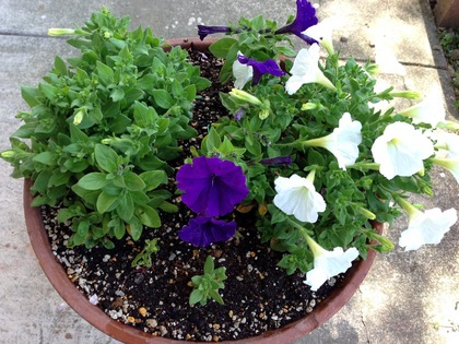 紫と白のペチュニアの寄せ植え2017