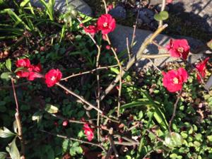 庭のカンボケ(赤)