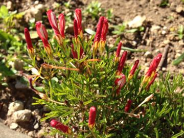 庭のオキザリスのつぼみ
