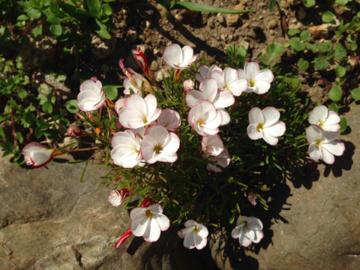 開花したオキザリス