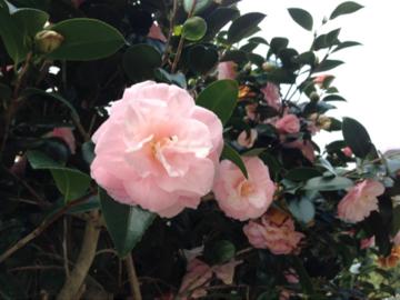 薄いピンクの椿