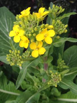 小松菜の花2