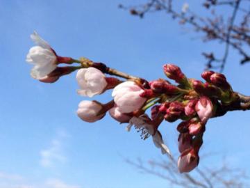桜2016 ②