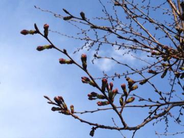桜2016 ③