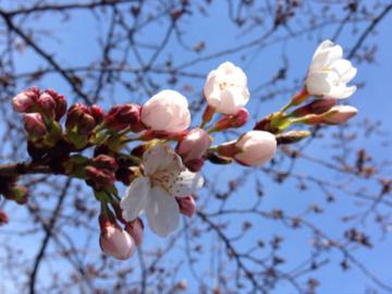 桜2016 ①