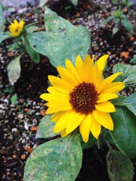 ミニヒマワリの花 B