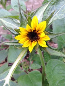 ミニヒマワリの花 A