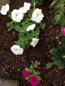 花壇に植えたペチュニア白