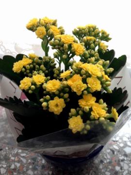 ドイツのカランコエ(三分咲き)