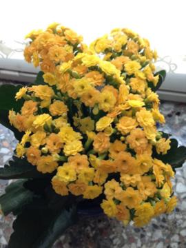 ドイツのカランコエ(八分咲き)