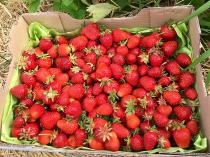 イチゴ狩りの採れたてイチゴ