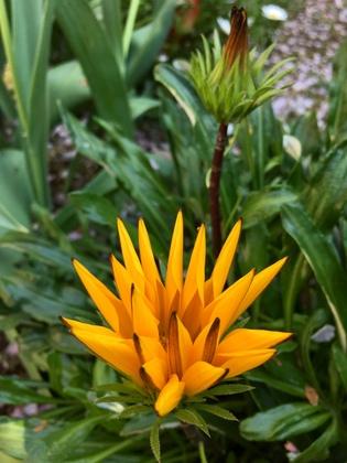 開き始めたガザニアの花