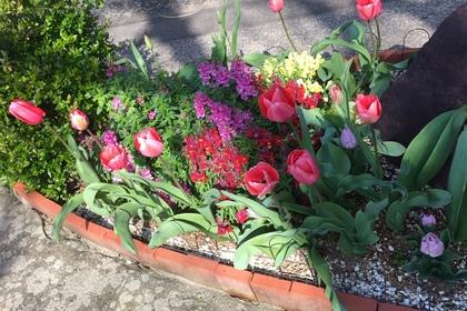 チューリップ花壇2019咲いたピンクの花