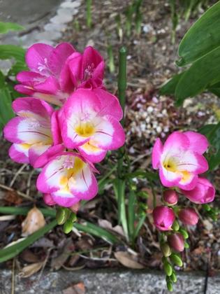 ピンクのフリージア(2)