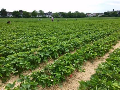 ドイツのイチゴ狩り農園2019
