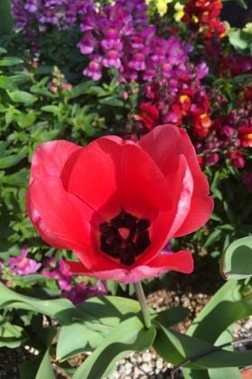 ピンクの花のチューリップ開花!