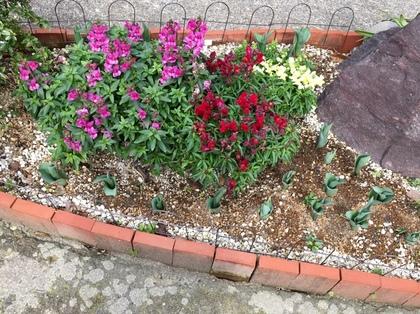 芽が出たチューリップとキンギョソウ 2
