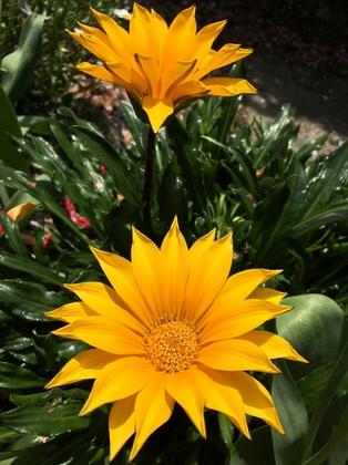 黄色いガザニアの花