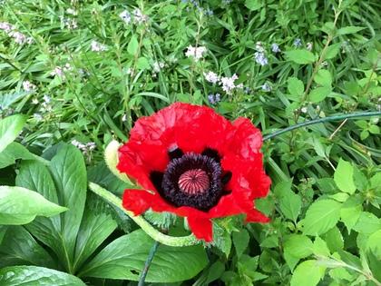 ドイツの植物園 巨大Mohn(ケシ)の花