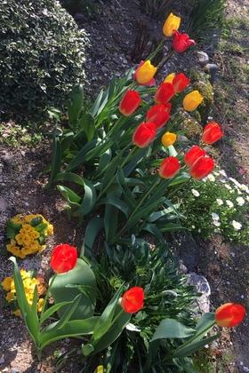 チューリップ花壇2019満開の赤と黄色の花
