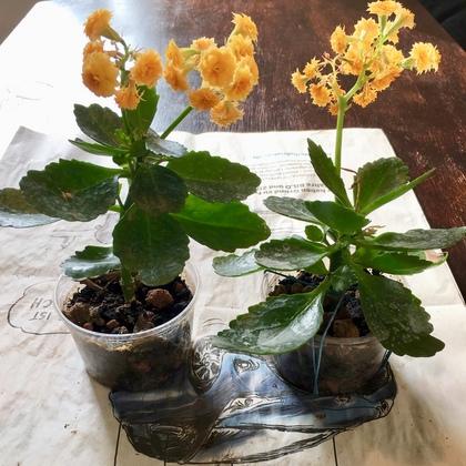 花が咲いたカランコエの挿し芽2018