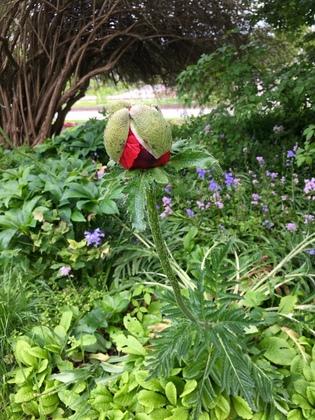 ドイツの植物園 巨大Mohn(ケシ)のつぼみ