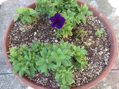 今年最初の花が咲いたペチュニアの寄せ植え2017