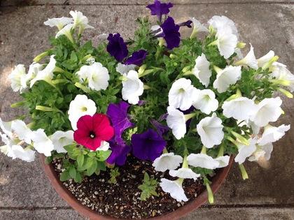 紫と白と紅色のペチュニアの寄せ植え