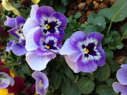 ビオラ 薄紫色に紫のブロッチ